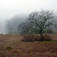 An oak tree in the meadow at the top of the Sonoma Overlook Trail on a misty morning.