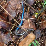 A Western Skink beside the Sonoma Overlook Trail.
