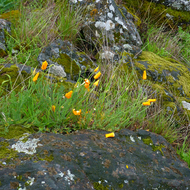 California Poppies in Spring among fresh grass and moss and lichen covered rocks on the Sonoma Overlook Trail.