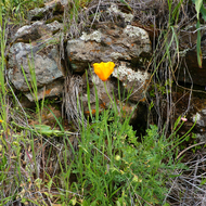 A California Poppy in Spring among fresh grass and moss and lichen covered rocks on the Sonoma Overlook Trail.