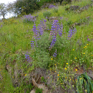 Lupine in Spring among fresh grass on the Sonoma Overlook Trail.