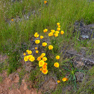 California Poppies in Spring among fresh grass on the Sonoma Overlook Trail.
