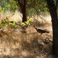 Wild Turkeys on the Sonoma Overlook Trail.