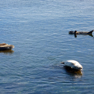 Seals lying on rocks or floating in Monterey Bay.