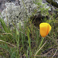 A California poppy with a lichen-encrusted boulder.