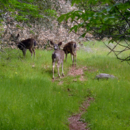 Mule deer along the Sonoma Overlook Trail in California.