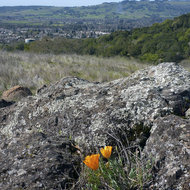 A California poppy with a lichen-encrusted boulder and the town of Sonoma in the distance.