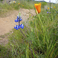Lupine flowers and California Poppies along the Sonoma Overlook Trail.
