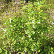 Poison oak in Spring.