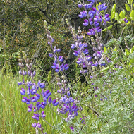 A Lupine flower next to the Sonoma Overlook Trail.