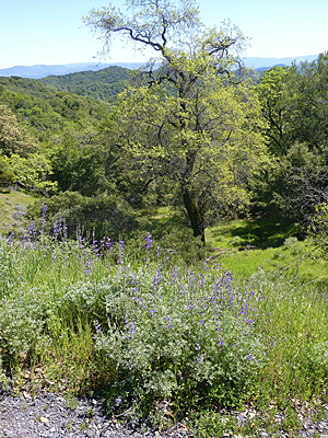 Thumbnail image ofBush lupine on the side of Bald Mountain in Sugarloaf...