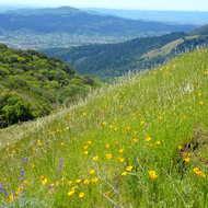 Lupine and California poppies on Bald Mountain, looking off to Sonoma Valley and beyond.