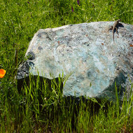 A California Poppy and a lizard on a soapstone boulder.