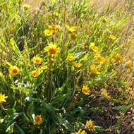 California compass plant or Narrow leaf mule ears on the Sonoma Overlook Trail.