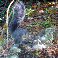 A Western Gray Squirrel along the trail.