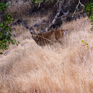 A deer just off the Sonoma Overlook Trail.