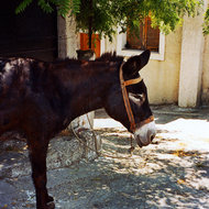 A donkey to ride in Crete.