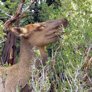 An elk near Mather Point on the South Rim of the Grand Canyon.