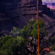 A century plant in the Grand Canyon.