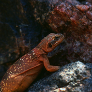 A Grand Canyon Chuckwalla lizard.