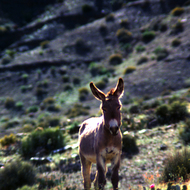 A wild burro in the Grand Canyon before they were removed as an invasive species.