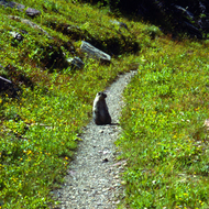 A marmot of the trail.