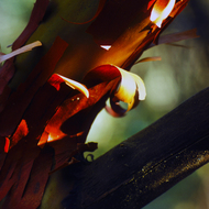 The curly red bark of a Madrone tree.