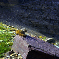 A marmot resting on a slab of rock.
