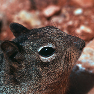 A close-up of a squirrel at the Grand Canyon.