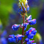 A lupine wildflower.