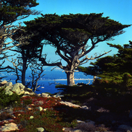 A Monterey Cypress in Monterey, California.