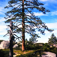 A beautiful lone pine in the high Sierra.