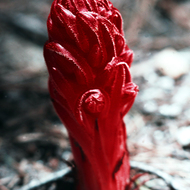 A flowering snow plant in the Sierra Nevada.