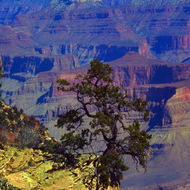 A tree clings to a precipice over the Grand Canyon.