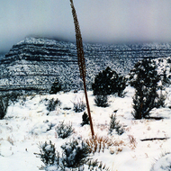 A Century plant in a lonely snow-bound vigil midway down the Grand Canyon in winter.