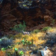 A bighorn sheep near the Colorado River in the Grand Canyon.