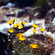 An unidentified yellow flower in the Grand Canyon.