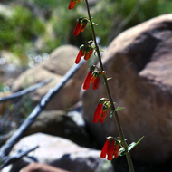 A Penstemon flower in the Grand Canyon.