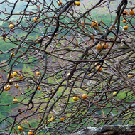 A California Buckeye tree in winter in the Ventana Wilderness.