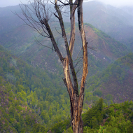 A stark dead tree along the Pine Ridge Trail in the Ventana Wilderness on a rainy day.