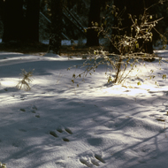 Rabbit tracks in the snow.