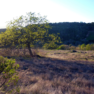 An oak tree just leafing out in sprint in the late afternoon on the Sonoma Overlook Trail.