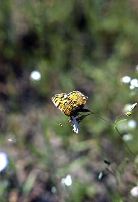 Thumbnail image of A Fritillary butterfly on a flower.