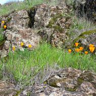 California Poppies beside the Sonoma Overlook Trail in Spring.