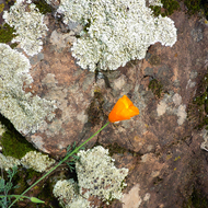 A California Poppy against the backdrop of a lichen-covered rock.