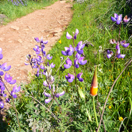 Lupine both foreground and background, with a California Poppy about to shed its sheathe and bloom in Spring.