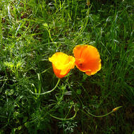 California Poppies in Spring.