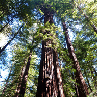 Looking up at the Colonel Armstrong tree at the Armstrong Redwoods State Natural Reserve in Sonoma County.