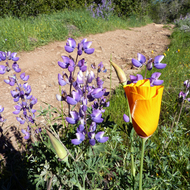 Lupine both foreground and background, with a California Poppy in bloom and another about to shed its sheathe and bloom.