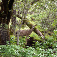 A deer standing beside the Sonoma Overlook Trail.